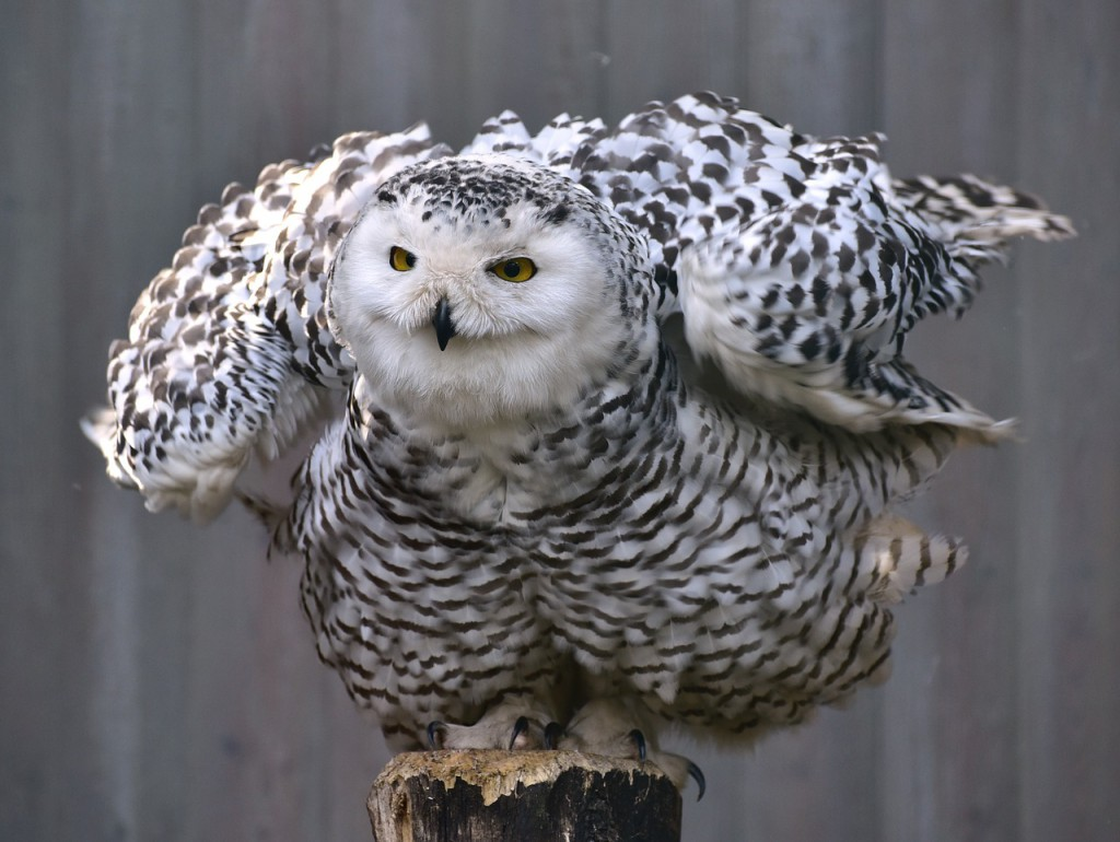 owl-727586_1280