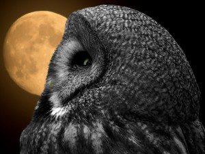 owl-706814_1280-300x225