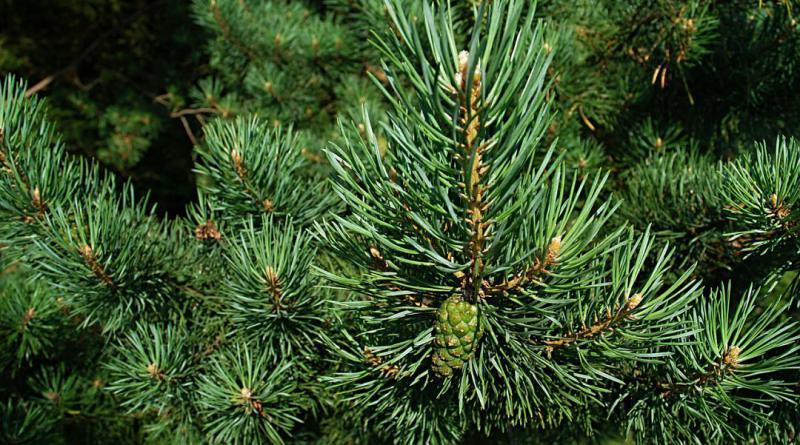 pine-588159_1280