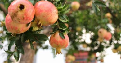 Granátové jablko - elixír mládí
