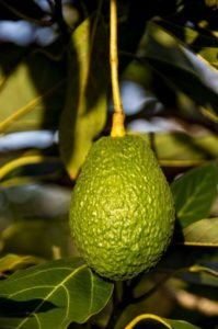 hass-avocado-882634_1920