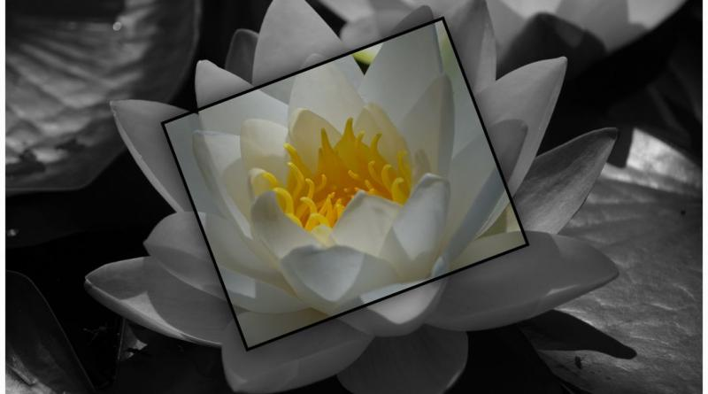 water-lily-869736_1920