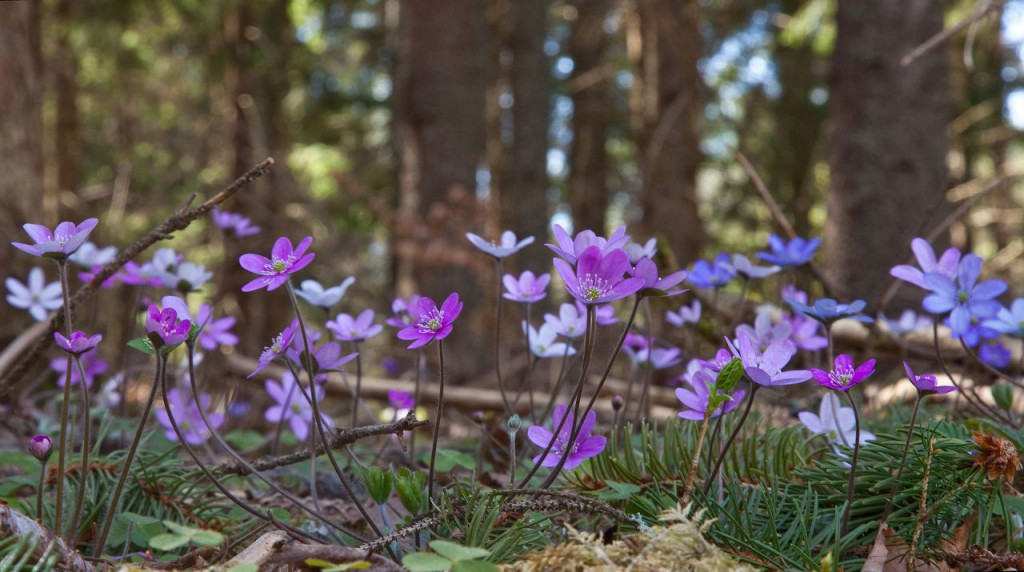 blue-anemone-1194385_1920