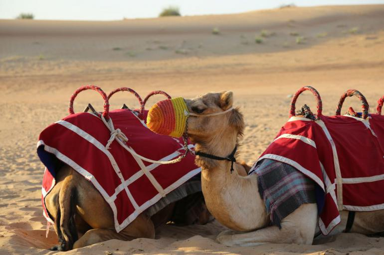 camels-1077801_1920