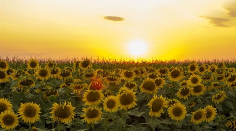 sunflower-1212245_1920