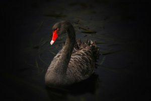 black-swan-122983_1920