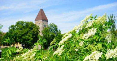 Bezové květy - cenná léčivka