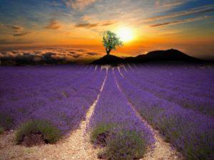 lavender-1385709_1280