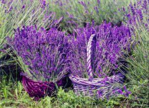 lavender-1478111_1920