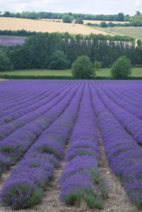 lavender-field-1180282_1280