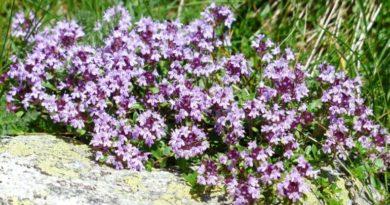 Mateřídouška - bylinka také pro děti