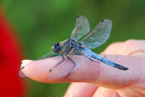 dragonfly-1343963_1920