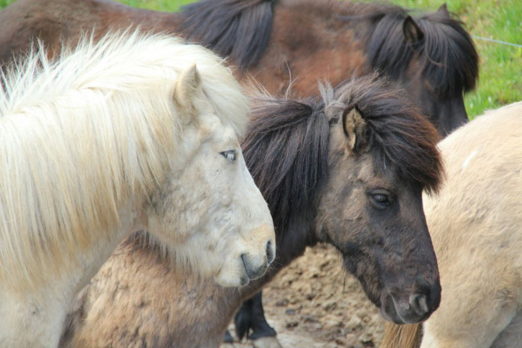 horses-328268_1920