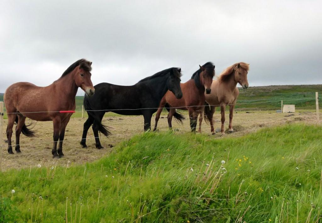 horses-608036_1920