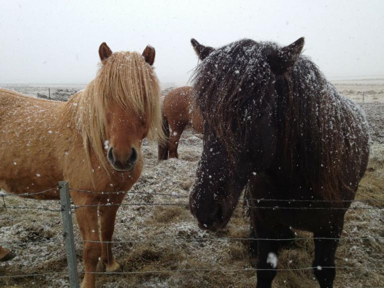 icelandic-horses-180535_1920