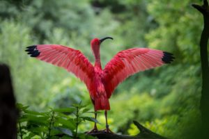 ibis-1574295_1920
