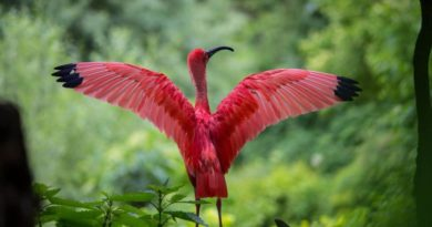 Ibis posvátný symbol boha Thovta
