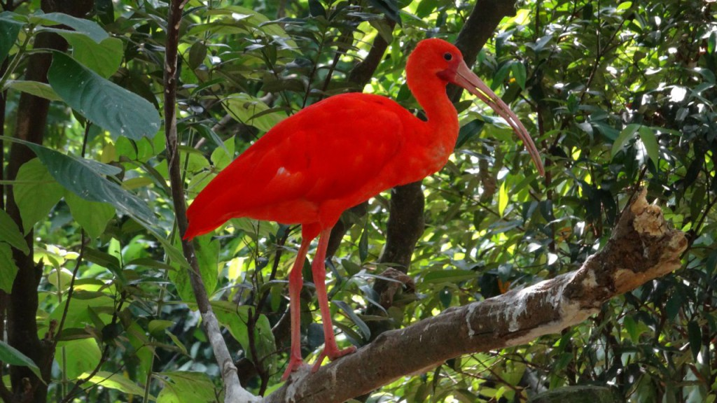 ibis-szkaratny-374624_1920