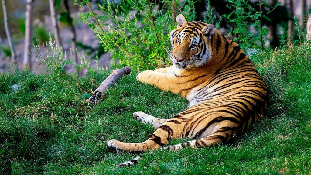 bengal-tiger-1149535_1280