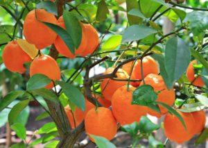 oranges-1545036_1920