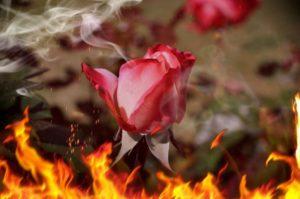 rosa-1280343_1920