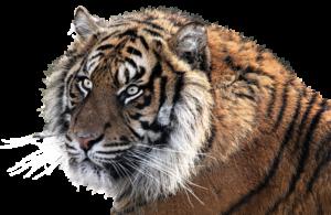 tiger-1526704_1920