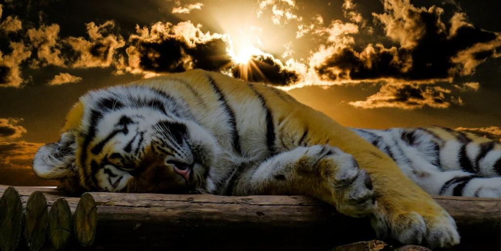 tiger-1673874_1920