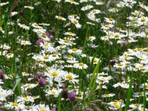 meadows-margerite-57322_1920