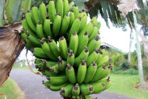 Výživová hodnota banánů