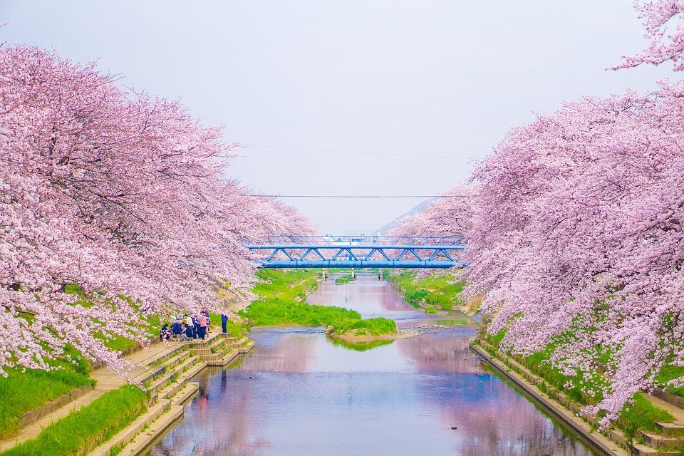 Japonská sakura - symbol štěstí