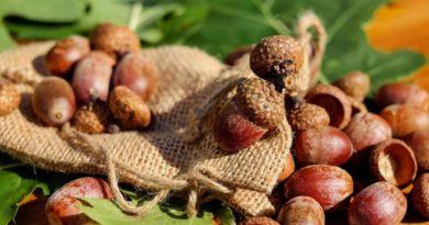 Žaludová mouka a káva, léčivá dubová kůra